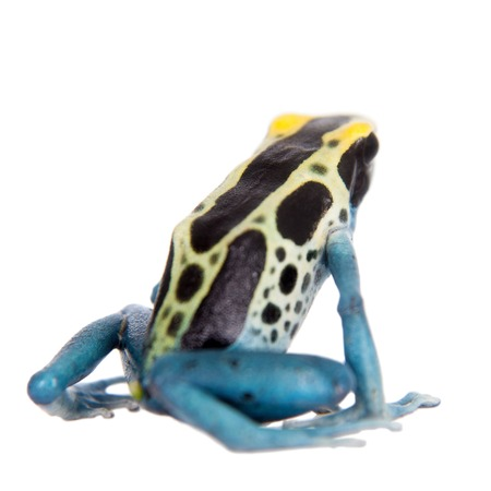 yellow and black poison dart frog: Patricia Dyeing Poison Dart Frog, Dendrobates tinctorius, isolated on white background. Stock Photo