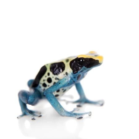 dendrobates: Patricia Dyeing Poison Dart Frog, Dendrobates tinctorius, isolated on white background. Stock Photo
