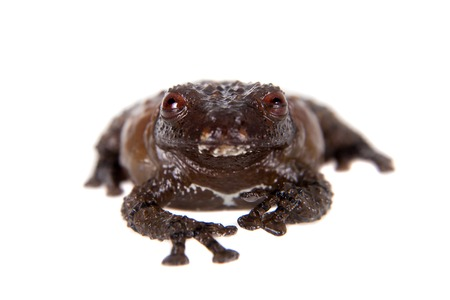 tiny frog: Asian bird poop frog, Theloderma asperum, isolated on white