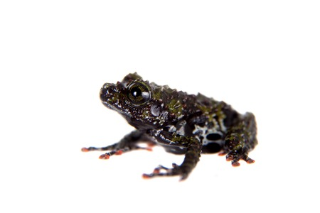 bicolor: Theloderma bicolor, rare spieces of frog isolated on white background Stock Photo