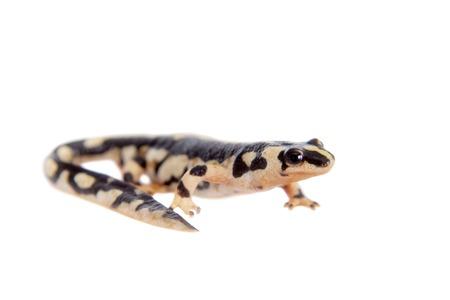 newt: Kaisers spotted newt, Neurergus kaiseri, isolated on white background
