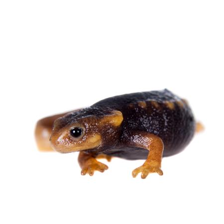 palmate: Himalayan newt, Tylototriton verrucosus, isolated on white background