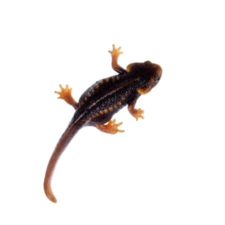 newt: Himalayan newt, Tylototriton verrucosus, isolated on white background