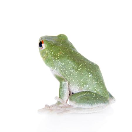croaking: Green back flying tree frog, Rhacophorus dorsoviridis, isolated on white background