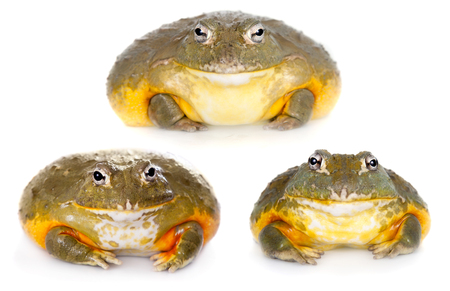 The African bullfrog, Pyxicephalus adspersus, isolated on white background