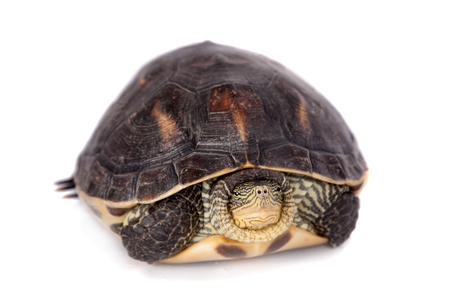 ocadia sinensis: The Chinese stripe-necked turtle, Ocadia sinensis, or golden thread turtle isolated on white background Stock Photo