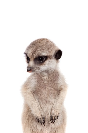 suricata: The meerkat or suricate cub, Suricata suricatta, isolated on white Stock Photo