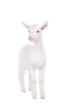 yeanling: Little white goatling isolated on white background