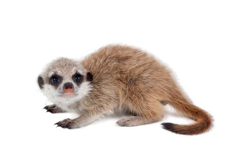 suricata suricatta: The meerkat or suricate cub, Suricata suricatta, isolated on white Stock Photo