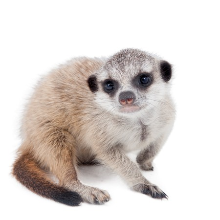 The meerkat or suricate cub, Suricata suricatta, isolated on white Stock Photo
