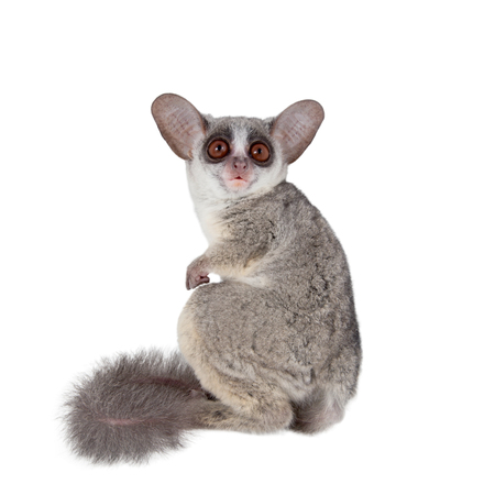 The Senegal bushbaby, Galago senegalensis, isolated on white background