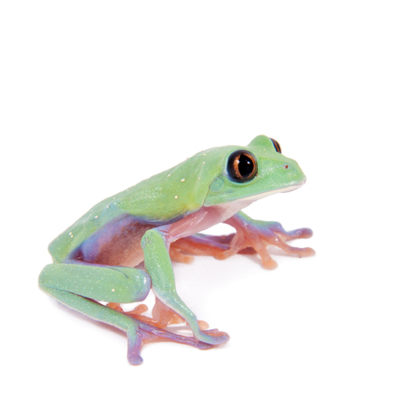 agalychnis: Beautiful blue-sided tree frog, agalychnis annae, isolated on white background
