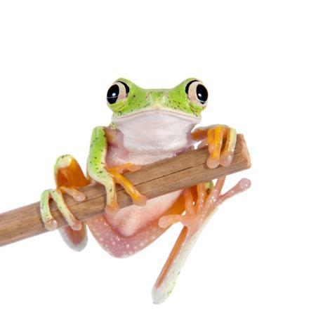 agalychnis: Lemur leaf frog, agalychnis lemur, isolated on white background