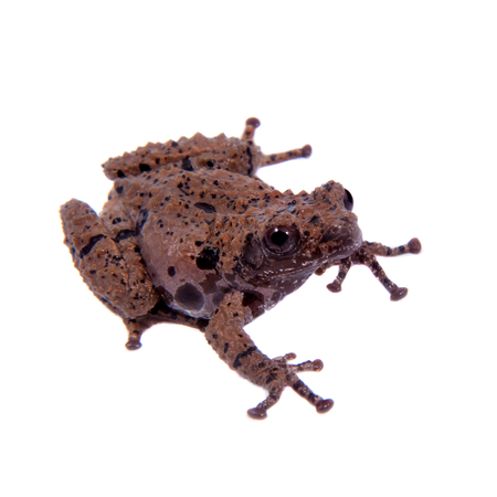 unobtrusive: Star mossy frog, Theloderma stellatum, rare spieces of frog, isolated on white background