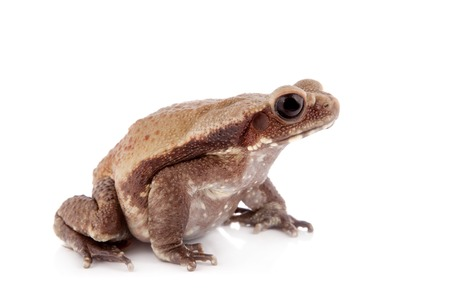 neighbours: Smooth-sided toad, Rhaebo guttata, isolated on white background Stock Photo