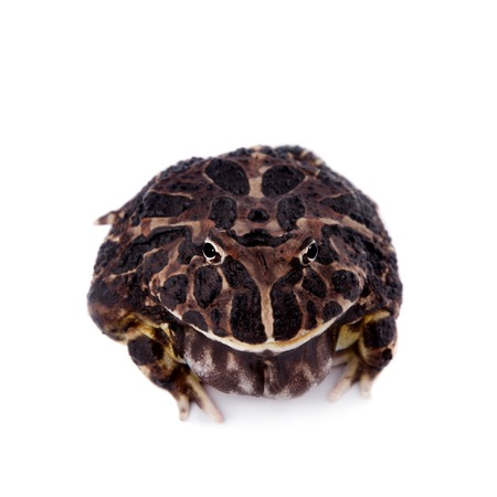 horned frog: The Argentine horned frog, Ceratophrys ornata, isolated on white background