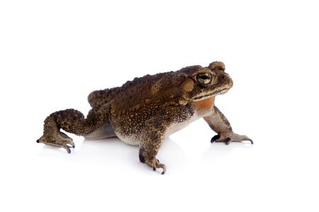 stocky: Asian common toad, Duttaphrynus melanostictus, isolated on white background Stock Photo
