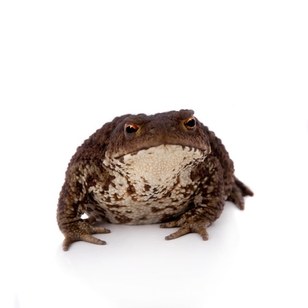 bufo bufo: Bufo bufo. Common or European toad on white background