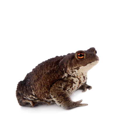 wart: Bufo bufo. Common or European toad on white background