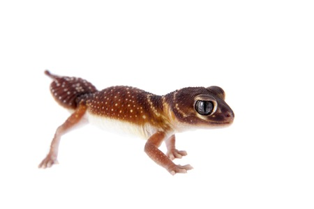 levis: Smooth Knob-tailed Gecko, Nephrurus levis levis, isolated on white background