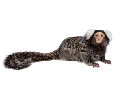 The common marmoset, Callithrix jacchus, isolated on white background Stock Photo
