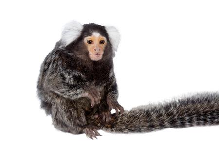 marmoset: The common marmoset, Callithrix jacchus, isolated on white background Stock Photo