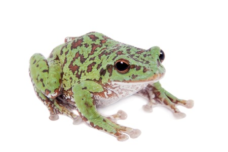 anura: Japaneese forest green tree frog, Rhacophorus arboreus, on white isolated on white background