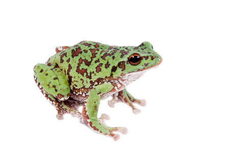 green tree frog: Japaneese forest green tree frog, Rhacophorus arboreus, on white isolated on white background