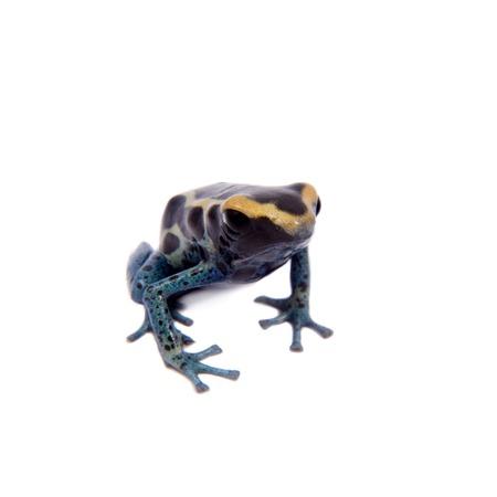 dendrobates: Awarape Blue Dyeing Poison Dart Frogling, Dendrobates tinctorius, on white background. Stock Photo