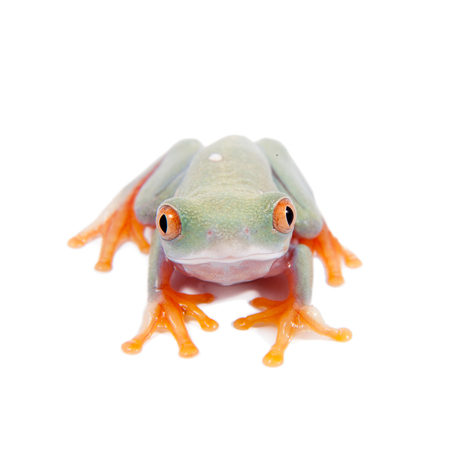 red eyed: Red eyed tree frogling, Agalychnis callidrias, isolated on white background