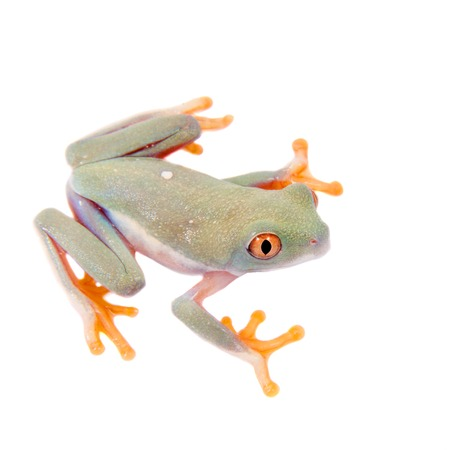 agalychnis: Red eyed tree frogling, Agalychnis callidrias, isolated on white background