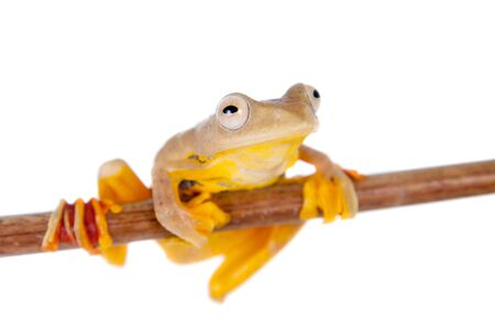 croaking: Two-dotted flying tree frog, Rhacophorus rhodopus, isolated on white background Stock Photo
