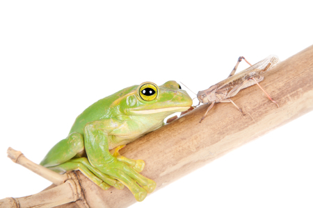croaking: Giant Feae flying tree frog eating a locusts, Rhacophorus feae, isolated on white background Stock Photo