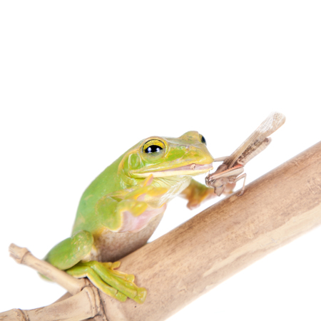 arboreal frog: Giant Feae flying tree frog eating a locusts, Rhacophorus feae, isolated on white background Stock Photo
