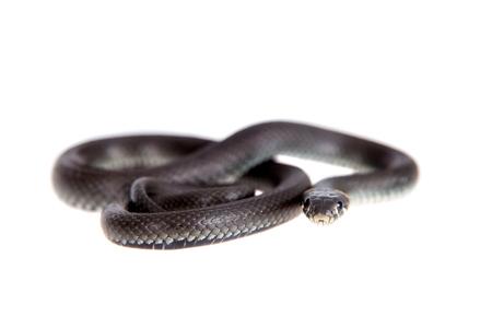 natrix: Grass Snake, Natrix natrix, isolated on white background