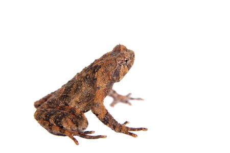unobtrusive: Bulldog frog, ophryophryne hansi, male isolated on white background