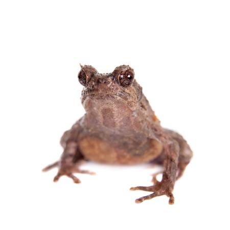 unobtrusive: Bulldog frog, ophryophryne hansi, female isolated on white background