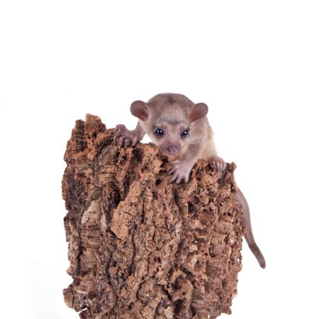 'hide out': Kinkajou, Potos flavus, 3 mounth old baby isolated on white background