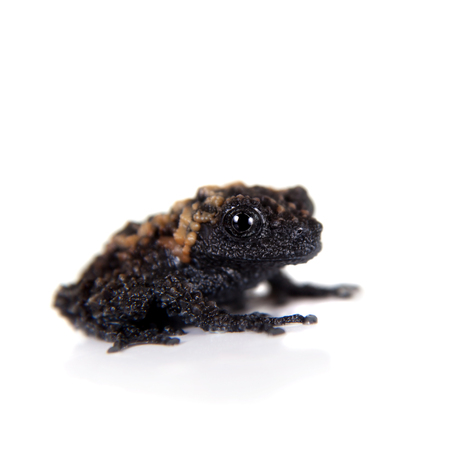 unobtrusive: Gordons mossy frog, Theloderma gordoni, rare spieces of frog, isolated on white Stock Photo