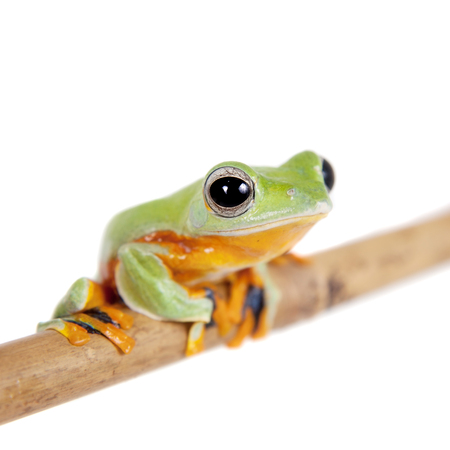 arboreal frog: Reinwardts flying tree frog, Rhacophorus reinwardtii, isolated on white Stock Photo