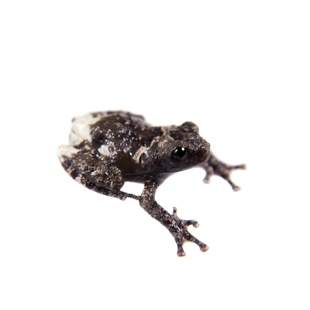 unobtrusive: Star mossy frogling, Theloderma stellatum, rare spieces of frog, isolated on white background