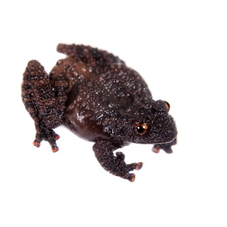 unobtrusive: Dreadful mossy frog, Theloderma horridum, rare spieces of frog, isolated on white Stock Photo