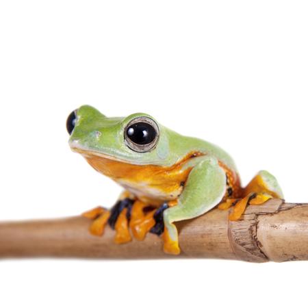 arrow poison: Reinwardts flying tree frog, Rhacophorus reinwardtii, isolated on white Stock Photo
