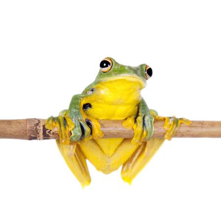croaking: Black-webbed flying tree frog, Rhacophorus kio, isolated on white background