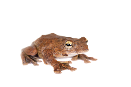 arboreal frog: Annam flying frog, Rhacophorus annamensis, isolated on white background