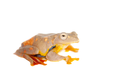 arboreal frog: Two-dotted flying tree frog, Rhacophorus rhodopus, isolated on white background Stock Photo
