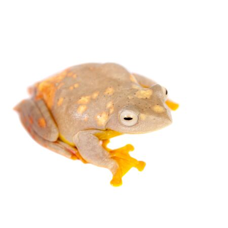 clambering: Two-dotted flying tree frog, Rhacophorus rhodopus, isolated on white background Stock Photo