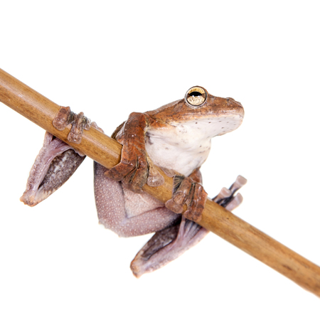 croaking: Annam flying frog, Rhacophorus annamensis, isolated on white background