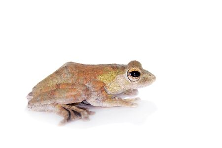 arboreal frog: Spinybottom tree frog, rhacophorus execophygus, isolated on white background