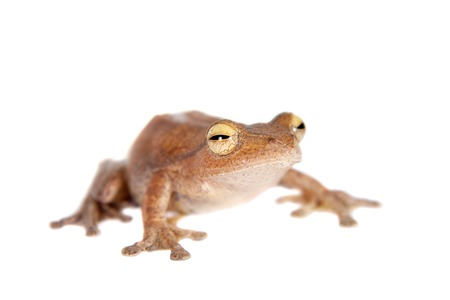 arboreal frog: Rhacophorus robertingeri, rare species of flying tree frog, isolated on white background Stock Photo